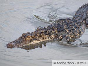 ZARE | Zertifizierte Altreifenentsorger | Krokodil steckt seit Jahren in einem Reifen fest