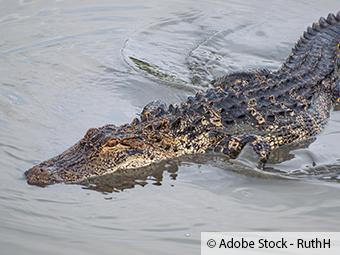 ZARE   Zertifizierte Altreifenentsorger   Krokodil steckt seit Jahren in einem Reifen fest